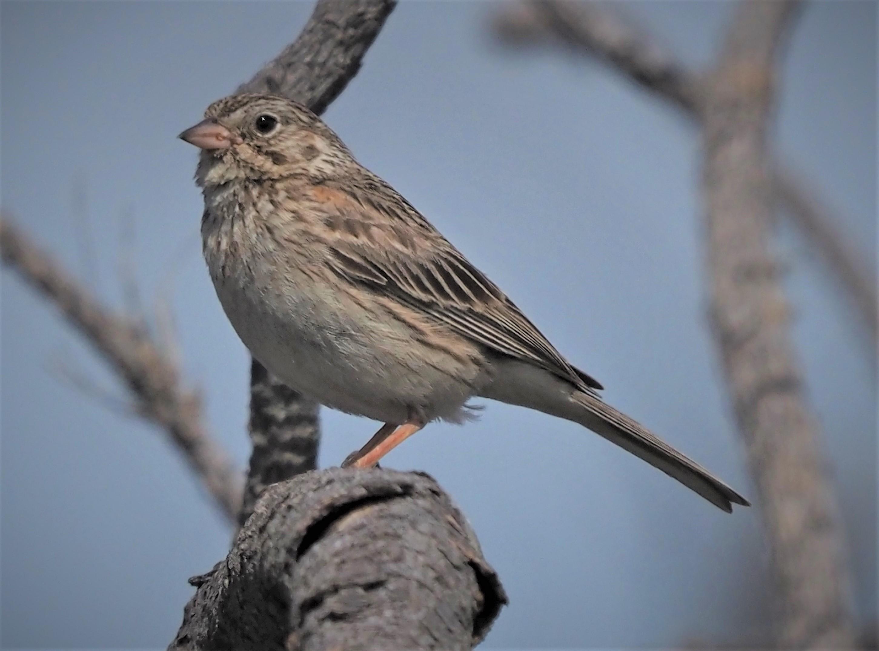 Vesper Sparrow2 (2)