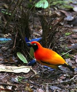 Masked Bowerbird