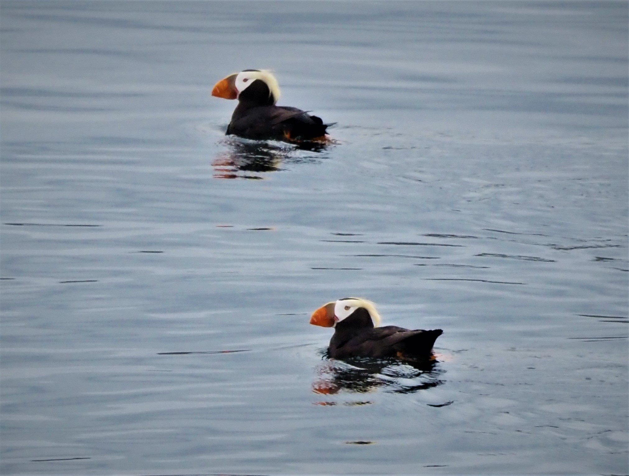 Two Puffins Left1