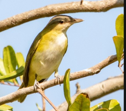 Benny-Jacobs Scwhartz Yellow Green Vireo