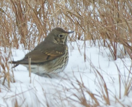 Song Thrush Tyler Ficker